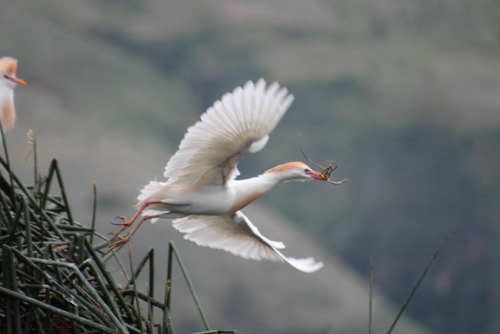 Garza Bueyera (Bubulcus ibis) (en reproducción